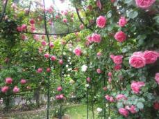 110616薔薇10
