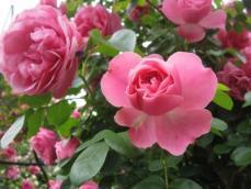 110616薔薇11