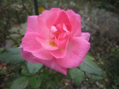111030薔薇3