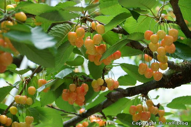 cherry1106o_eip.jpg