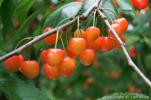 cherry110704a_eip.jpg
