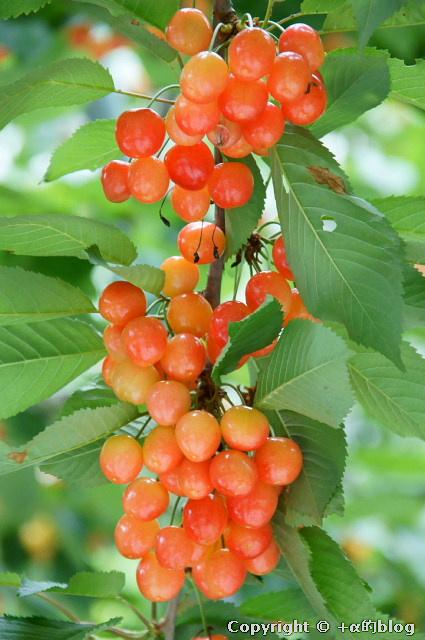 cherry110704d_eip.jpg
