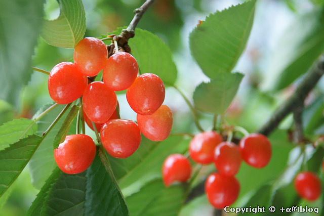 cherry110704e_eip.jpg