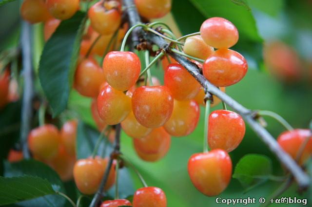 cherry110704h_eip.jpg