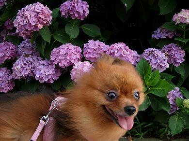 紫陽花とりおん