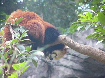 レッサーパンダ2