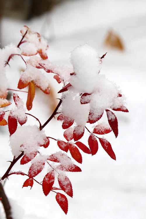 09雪と黄葉01