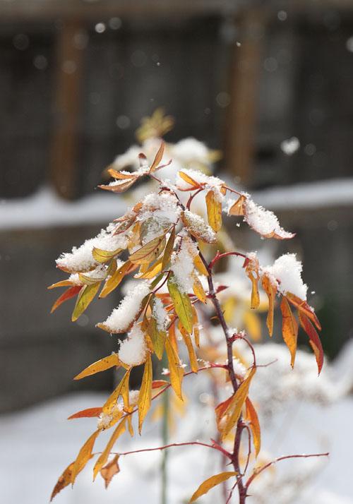 09雪と黄葉02