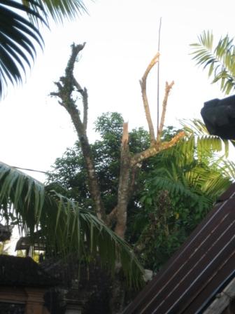 ランブータンの木