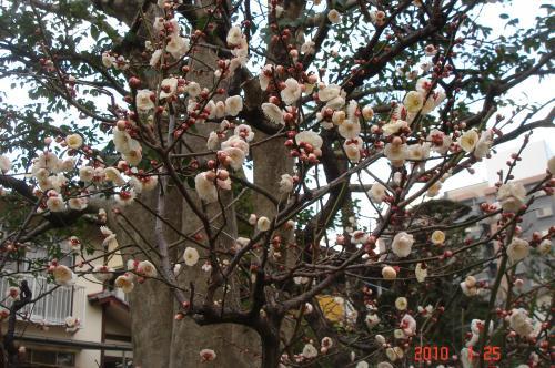 梅5分咲き