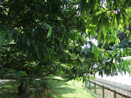 マロンの樹