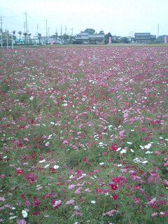 コスモス畑.091024.02