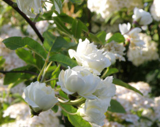 白モッコウバラ3