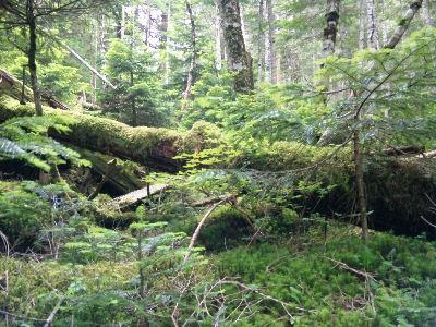 苔むしたカラマツの樹林帯