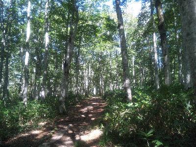 カヤの平のブナ林