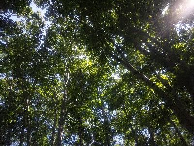 きれいなブナ林