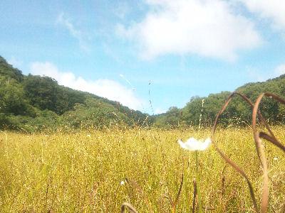カヤの平・北ドブ湿原とチングルマみたいな花