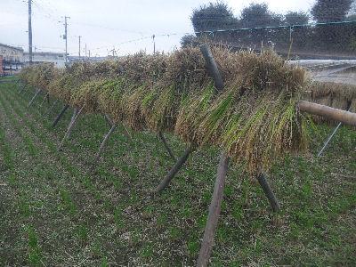 小学生の刈った稲