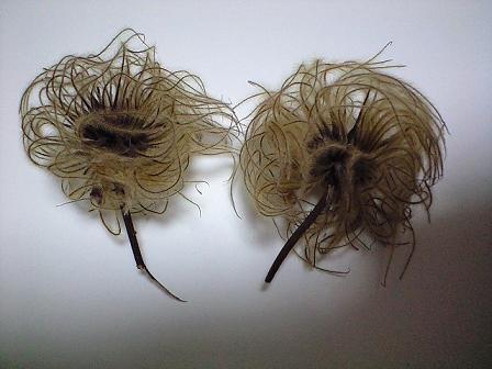 2009-08-26-クレマチスの種