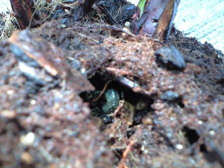 2009-9-13-サウスランドのコガネムシの幼虫