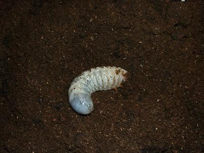 コガネムシ(アオドウガネ)の幼虫