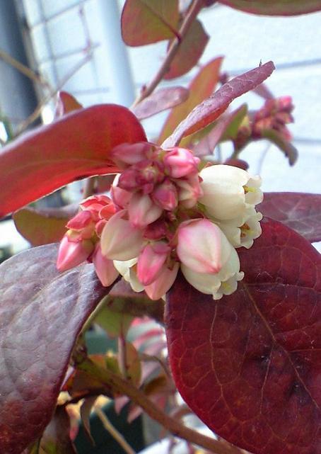 2009-1-25-オニール実生種(2年)初開花
