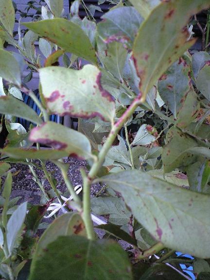 2009-09-26ミノウブルーの葉