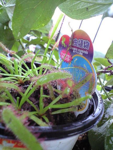 2009-10-02-食虫植物4