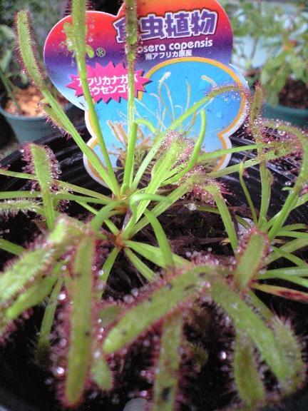 F:\DCIM\100KCA39\2009-10-02-食虫植物1