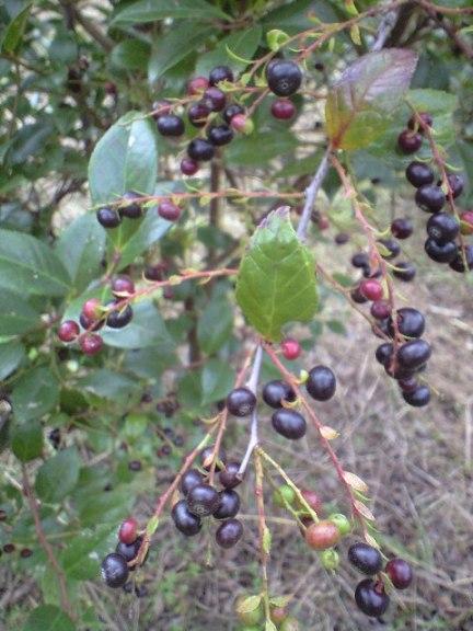 2009-11-19-宗像農園シャシャンボ6