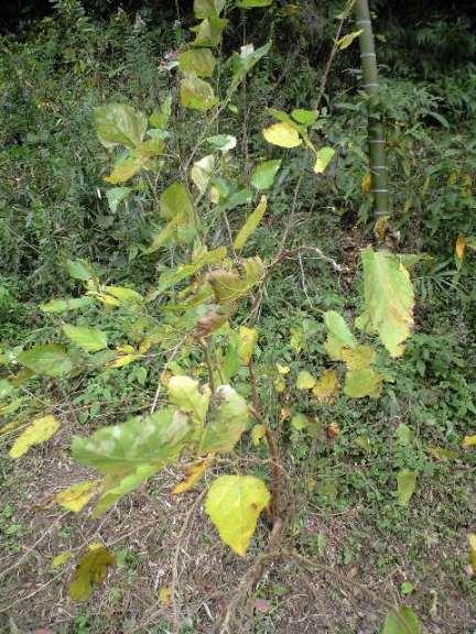 2009-11-19-宗像農園クワ1