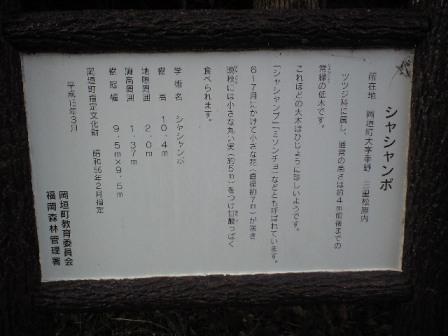 2009-11-19-シャシャンボの大木2