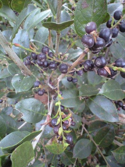 2009-11-19-宗像農園シャシャンボ8