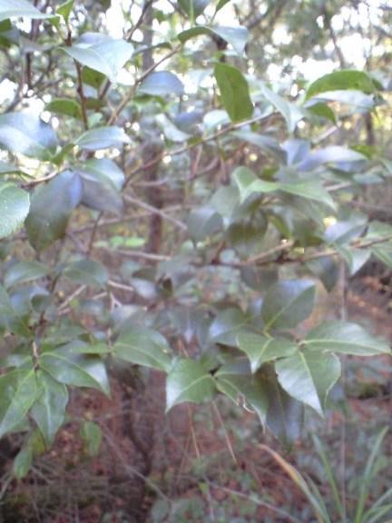 2009-11-19-シャシャンボの群生.