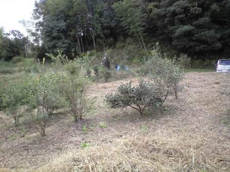 2009-11-19-宗像農園シャシャンボ1.