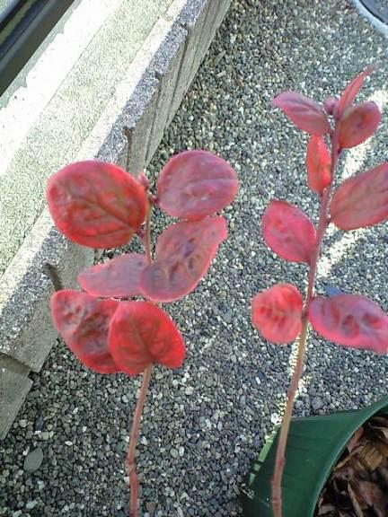 2010-1-23-オニール実生5