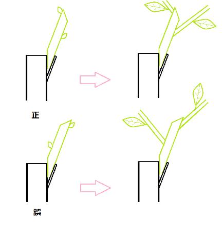 2010-01-26-接ぎ木の芽の向き