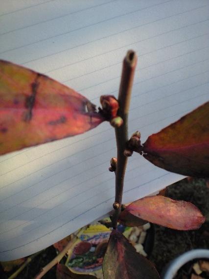 2010-01-30-モンゴメリーの花芽