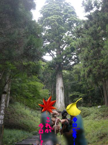 そう、これが太郎杉です、ええ.