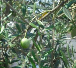 olive1_convert_20110903000241.jpg