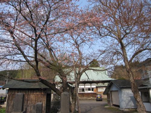 桜はぼちぼち