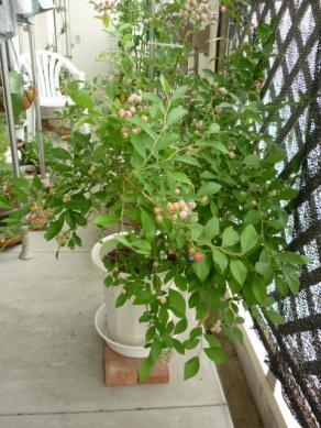 ブルーベリーの木012