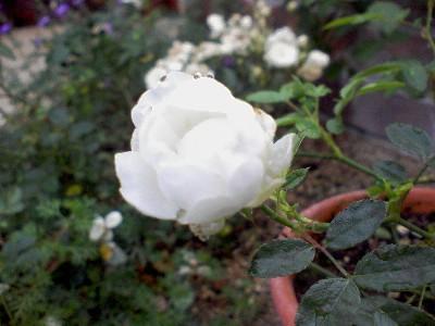 シュネープリンセス20091002