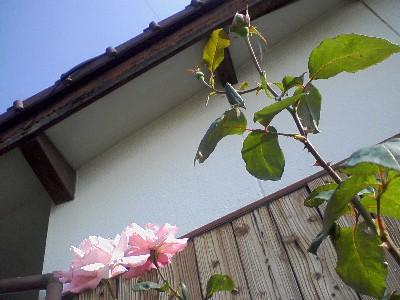 エリザベスつぼみ2009秋