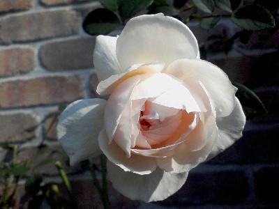 ローズマリー20091126