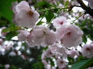 20100410 吉野桜 (2)