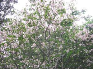 20100410 吉野桜 (6)