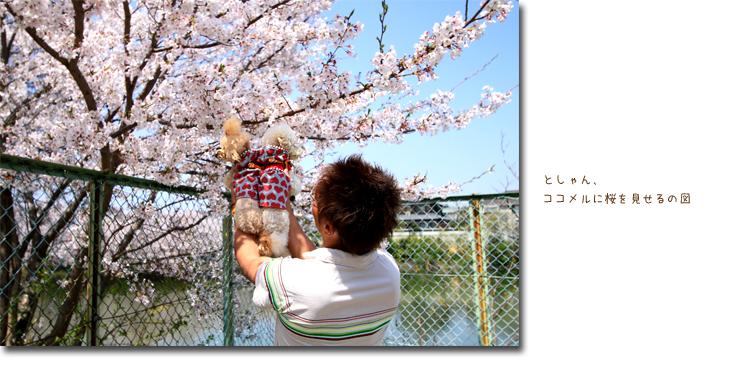 ココメルも桜見る