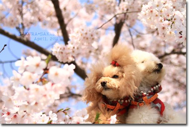 桜&ココメル