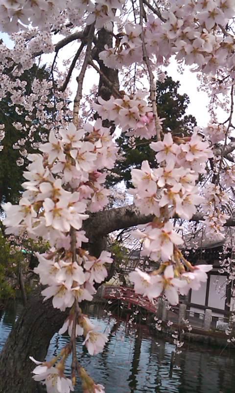 110407桜